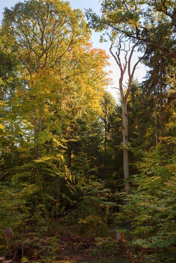 Árbol muerto en un bosque mezclado en un día soleado del otoño, vertical fotografía de archivo libre de regalías