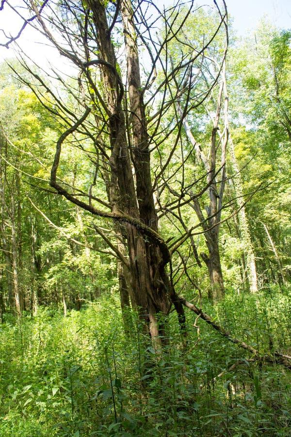 Árbol muerto espeluznante imagen de archivo libre de regalías