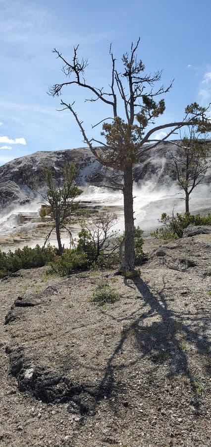 Árbol muerto por mamut Hot Springs en el Parque Nacional Yellowstone foto de archivo libre de regalías