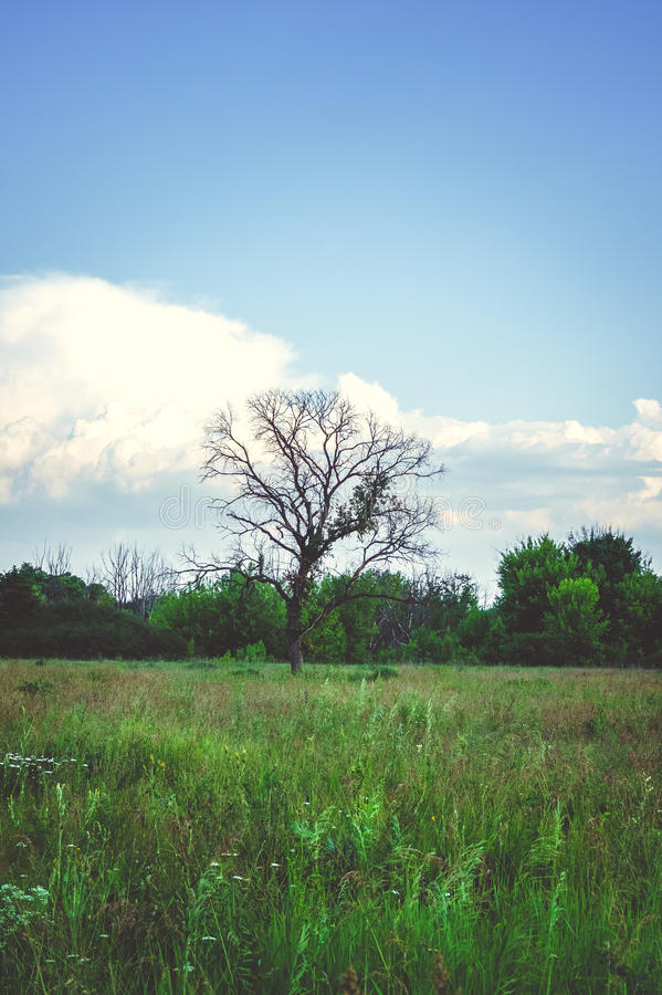Árbol muerto que se coloca solamente en el campo del verano imagenes de archivo