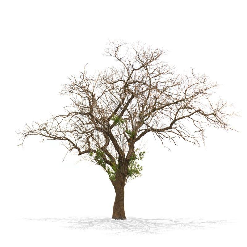 Árbol muerto seco aislado en blanco imagen de archivo libre de regalías