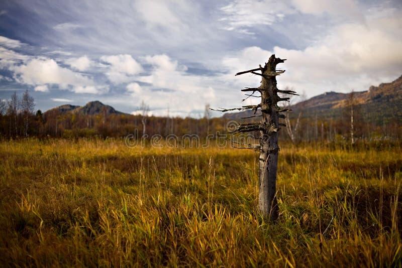Árbol muerto solo en un pantano fotos de archivo