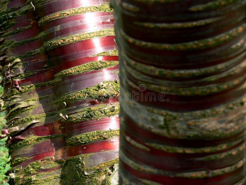árbol Multi-provenido con la corteza roja fotos de archivo libres de regalías