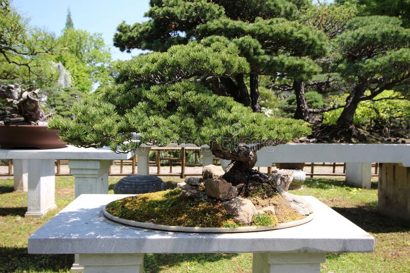 Árbol muy viejo de Bonsai en el jardín en Shanghái, China fotos de archivo libres de regalías