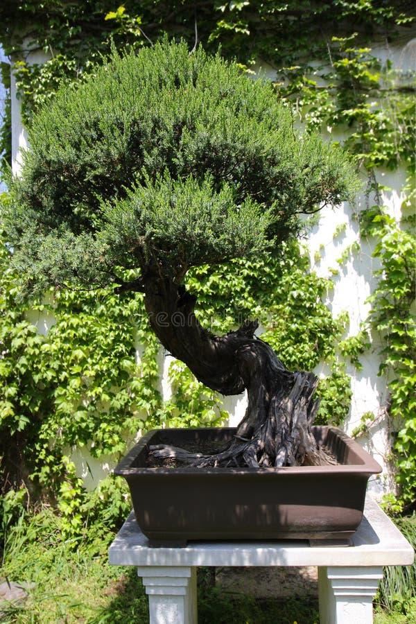 Árbol muy viejo de Bonsai en el jardín en Shanghái, China foto de archivo