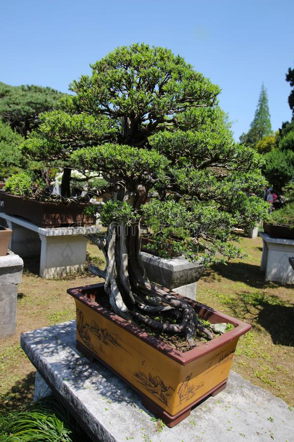 Árbol muy viejo de Bonsai en el jardín en Shanghái, China imagen de archivo