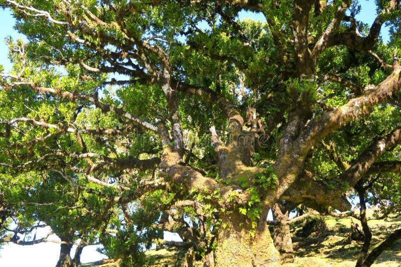 Árbol muy viejo del laurel, Madeira fotografía de archivo