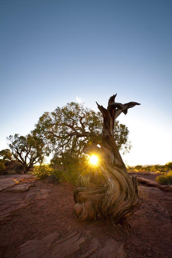 Árbol nudoso del enebro en la puesta del sol imagen de archivo libre de regalías