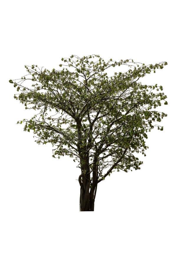 Árbol o religiosa verde claro aislado de Wrightia en un fondo blanco con la trayectoria de recortes imagen de archivo libre de regalías