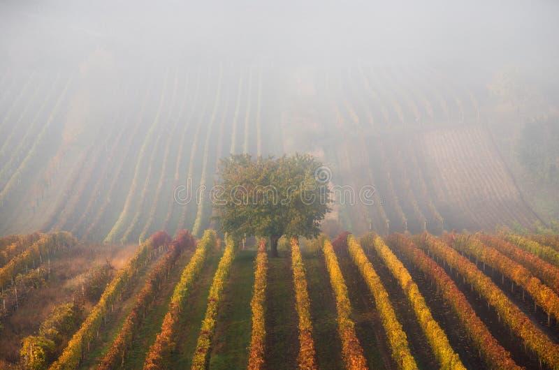 Árbol otoñal en niebla Autumn Landscape With Autumn Tree, niebla y filas multicoloras de viñedos Filas de las vides de uva del vi imagenes de archivo