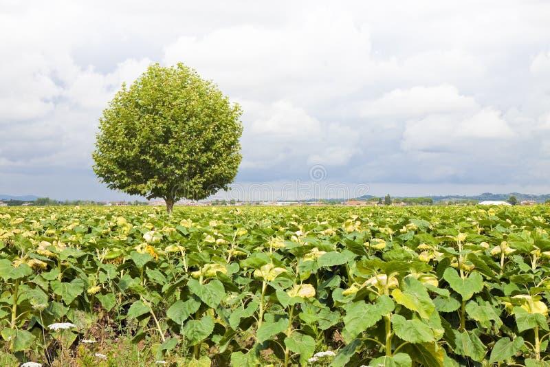 Download Árbol Plano Aislado En Un Campo De Los Girasoles Foto de archivo - Imagen de color, rainstorm: 44853164