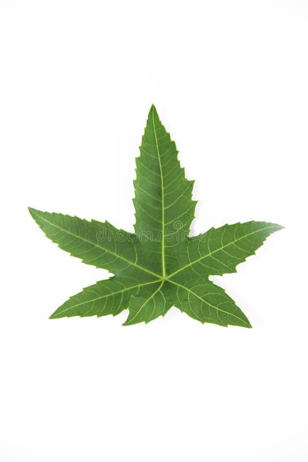 Árbol plano de la hoja verde natural con las venas en un fondo blanco fotografía de archivo