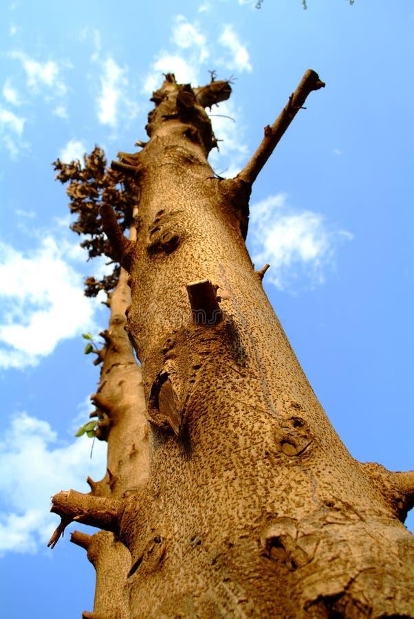 Árbol podado foto de archivo libre de regalías