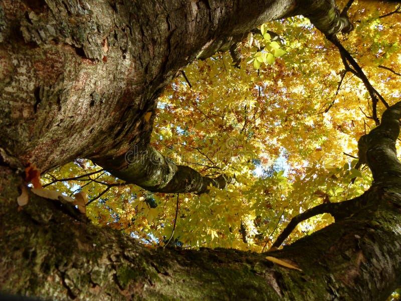 Árbol poderoso con las hojas de otoño brillantes amarillas foto de archivo libre de regalías