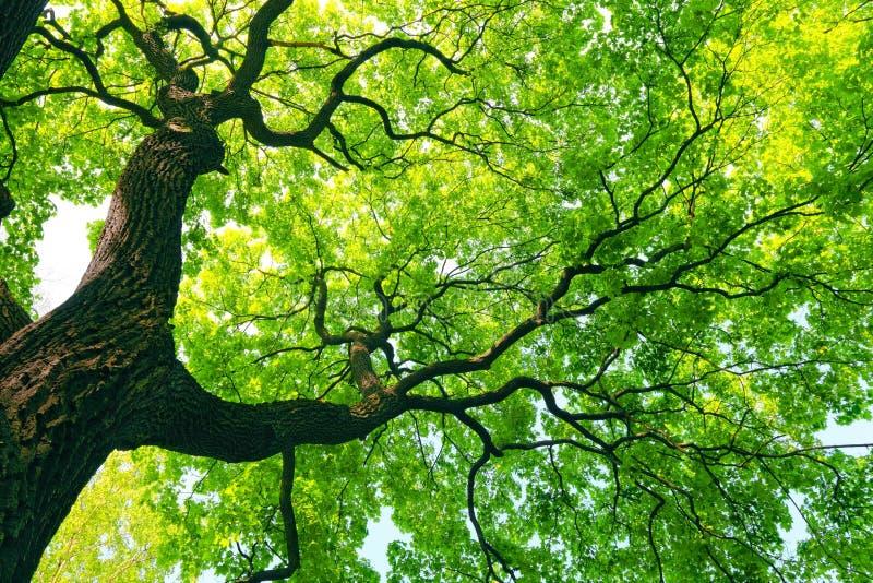 Árbol poderoso con las hojas verdes foto de archivo