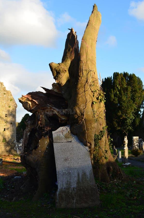 Árbol que crece fuera de un marcador del sepulcro del cementerio fotografía de archivo