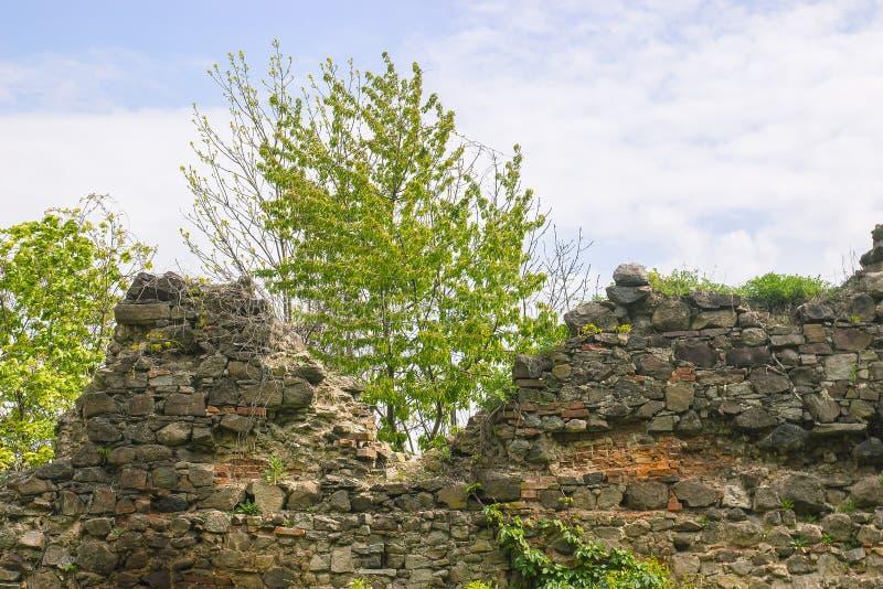 árbol que crece a través de la pared medieval imágenes de archivo libres de regalías