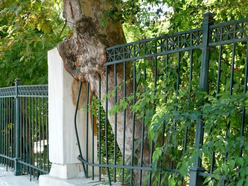 Árbol que crece a través de las verjas en Atenas, Grecia imagenes de archivo