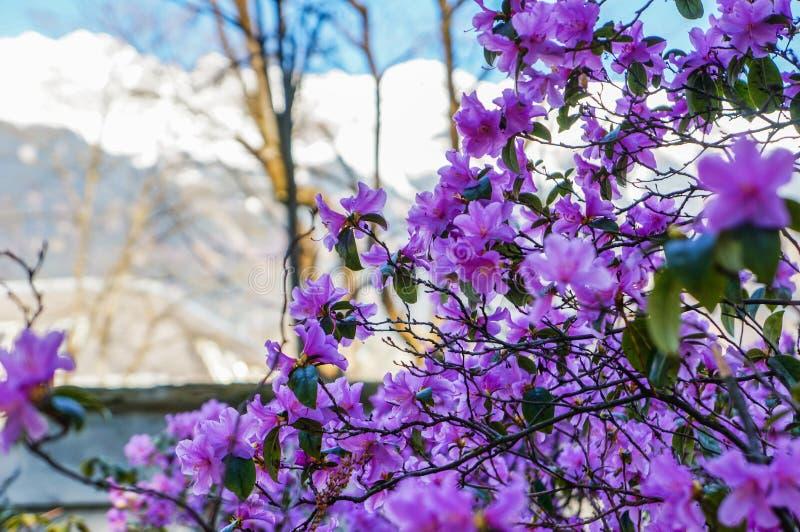 Árbol que florece con las flores púrpuras imagen de archivo