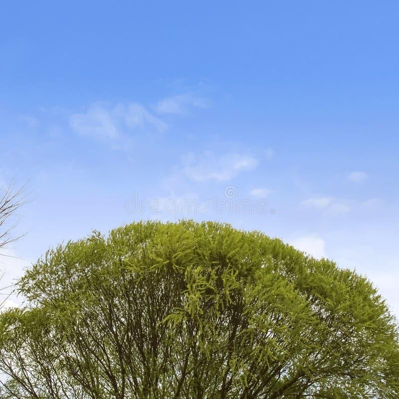 Árbol que se eleva del capítulo con las hojas verdes enormes contra el cielo azul y las nubes brillantes imágenes de archivo libres de regalías