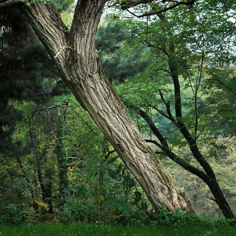 Árbol que se inclina en bosque fotos de archivo libres de regalías
