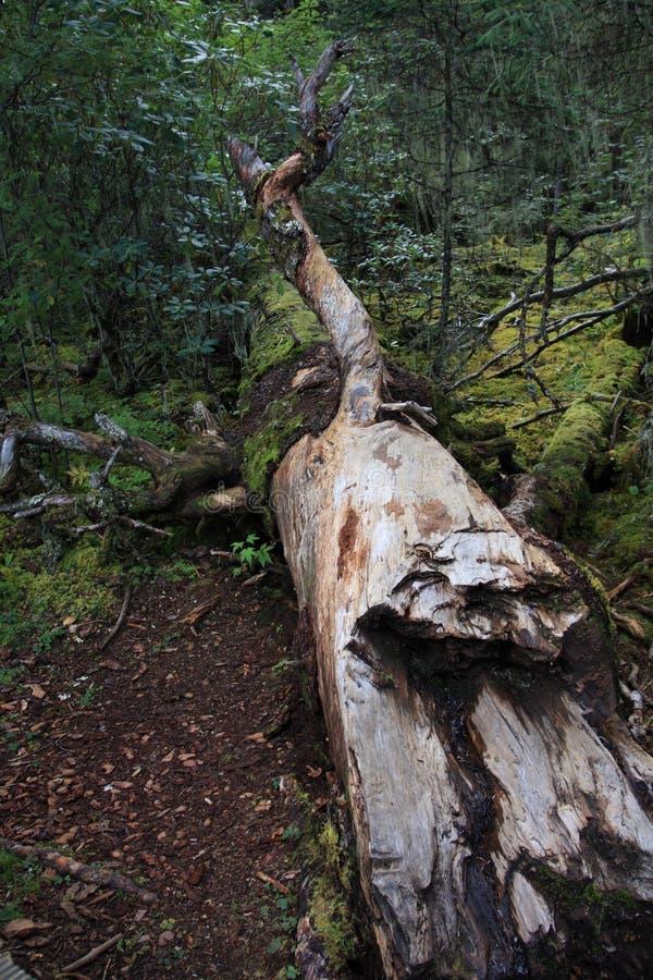 Árbol quebrado en bosque imagen de archivo libre de regalías