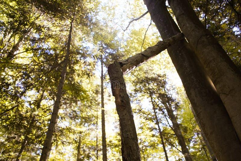 Árbol quebrado en bosque del otoño fotos de archivo