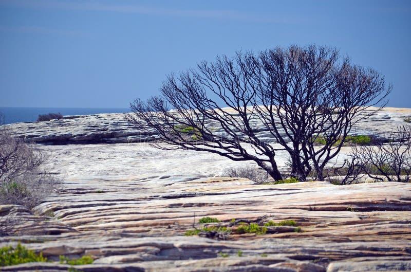 Árbol quemado Bushfire en la meseta Australia de la piedra arenisca imagenes de archivo