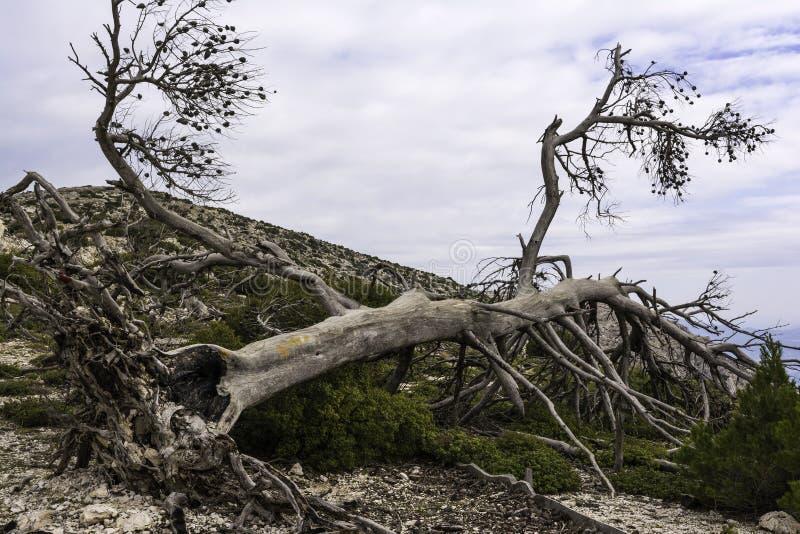 Árbol quemado después de un incendio forestal, Parnitha Grecia fotos de archivo