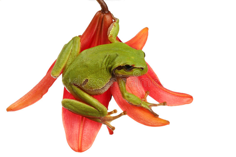 Árbol-rana en una flor fotos de archivo libres de regalías