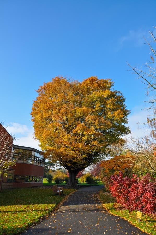 Árbol real del amor en otoño en jardín botánico árbol en forma de corazón verde y anaranjado imagen de archivo