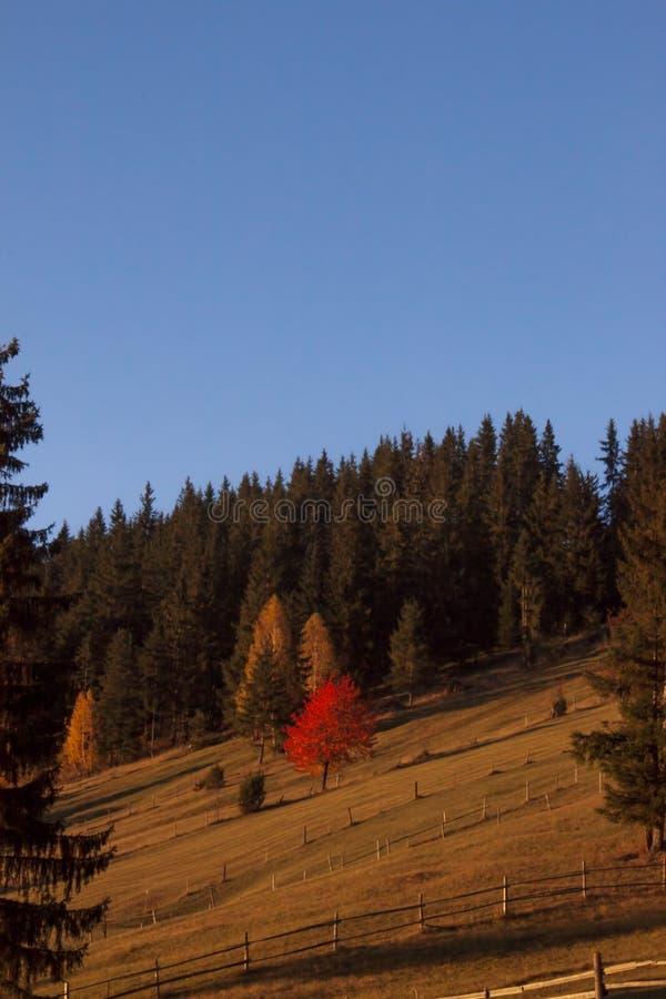Árbol rojo colorido en la luz de la puesta del sol foto de archivo libre de regalías