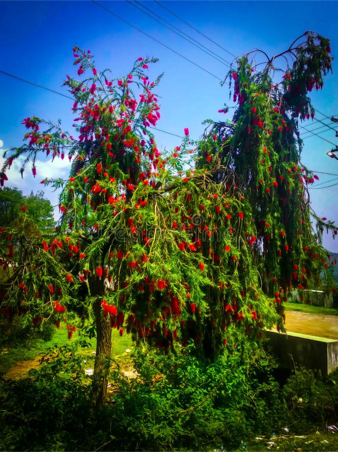 Árbol rojo de las flores que se coloca en un jardín imagen de archivo libre de regalías