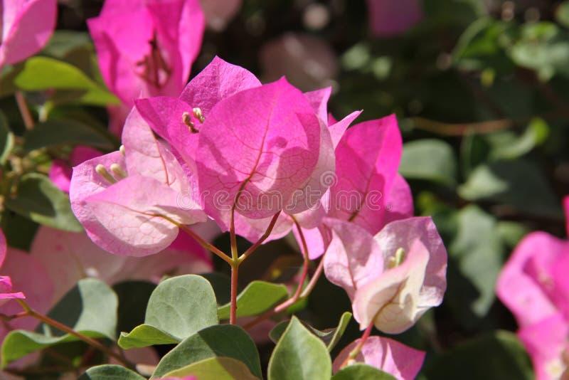Árbol rosado de la buganvilla en el jardín fotografía de archivo