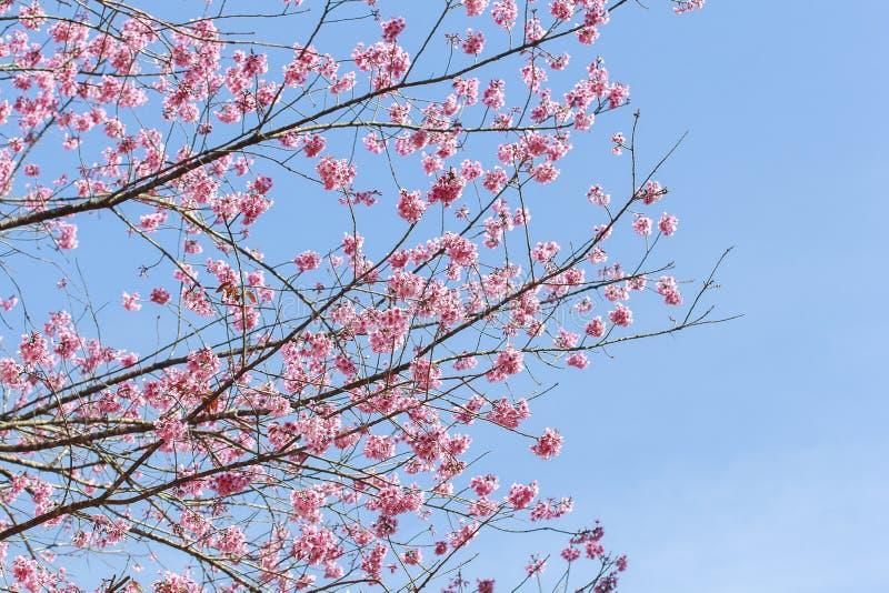Árbol rosado de Sakura fotografía de archivo libre de regalías