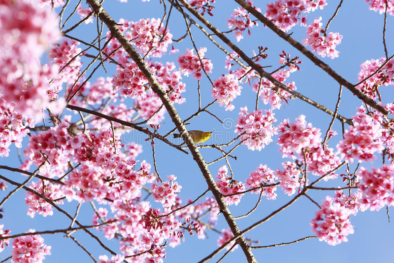 Árbol rosado de Sakura foto de archivo libre de regalías