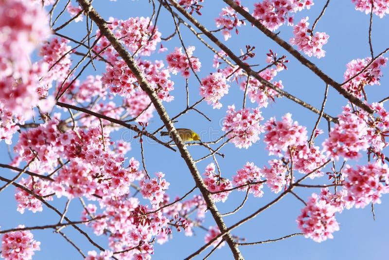 Árbol rosado de Sakura imagenes de archivo