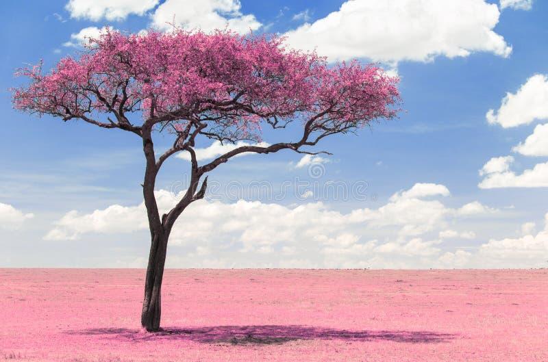 Árbol rosado del acacia en sabana con el efecto infrarrojo imagenes de archivo