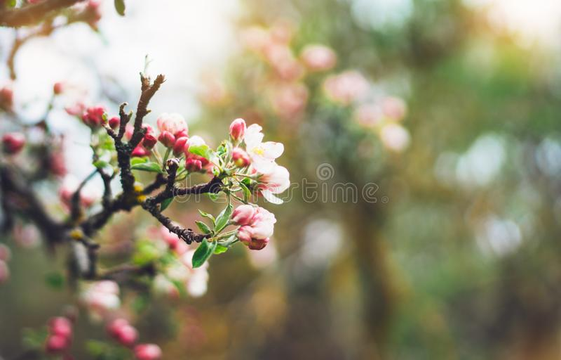 Árbol rosado del flor en llamarada del sol del fondo en el jardín verde de la primavera, flores románticas hermosas en la natural fotos de archivo