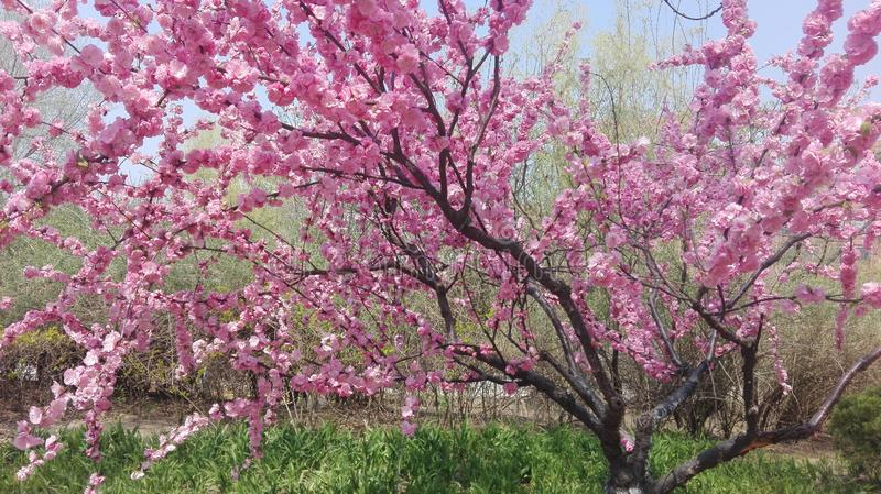 Árbol rosado hermoso de la flor de cerezo en su plena floración en primavera fotografía de archivo