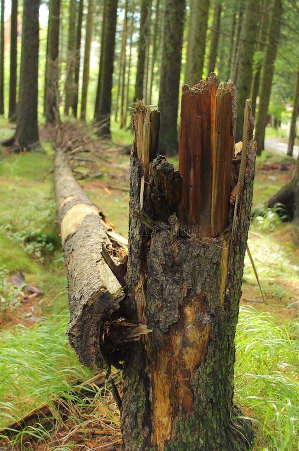 Árbol roto viejo en bosque fotos de archivo