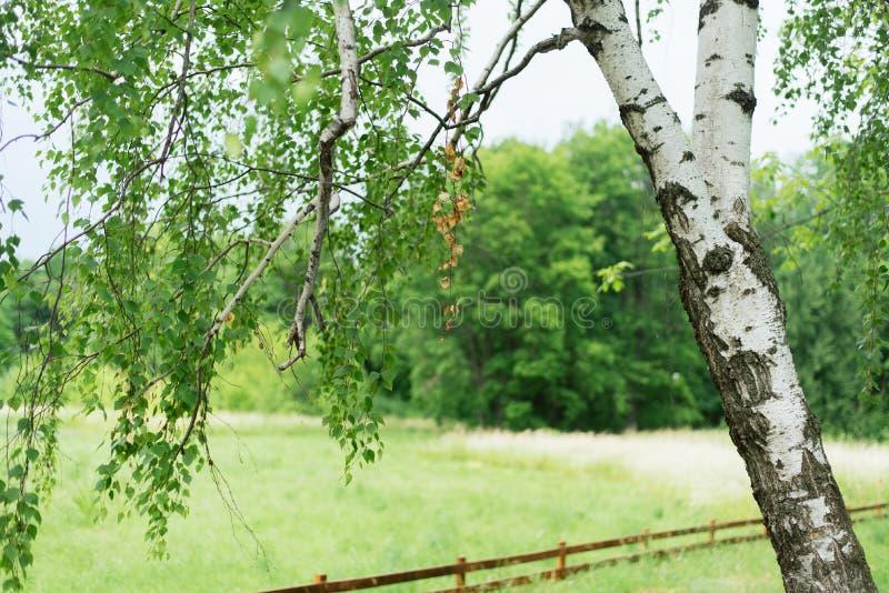 Árbol ruso hermoso contra la perspectiva del campo y el abedul joven del bosque en una cerca de madera Pacificación en edad avanz imagenes de archivo
