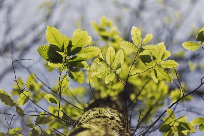 Árbol sativa del Castanea en Portugal fotografía de archivo libre de regalías