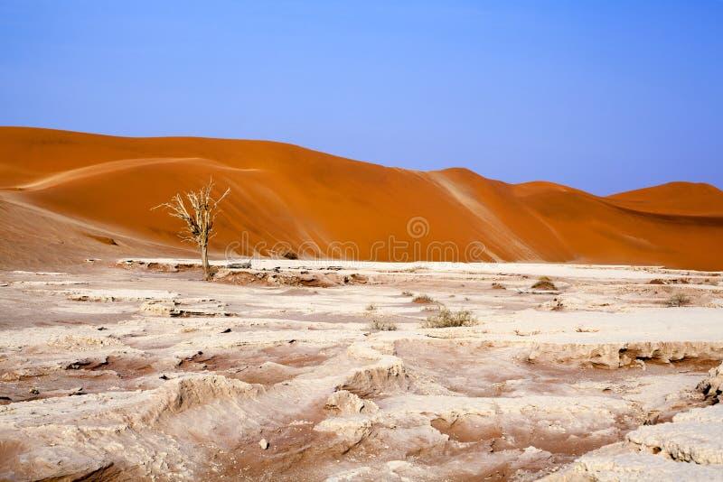 Árbol secado del acacia del camello en las dunas de arena anaranjadas y el fondo brillante del cielo azul, Namibia, África meridi foto de archivo libre de regalías