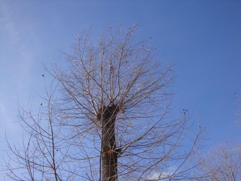 Árbol seco del invierno con haber aserrado y haber crecido demasiado con las nuevas ramas del cielo azul fotos de archivo libres de regalías