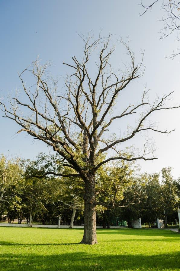 Árbol seco grande sin las hojas y en las hojas verdes, concepto de sequedad rodeado por vida fotos de archivo