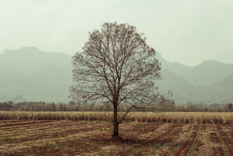 Árbol seco solo en campo fotos de archivo libres de regalías