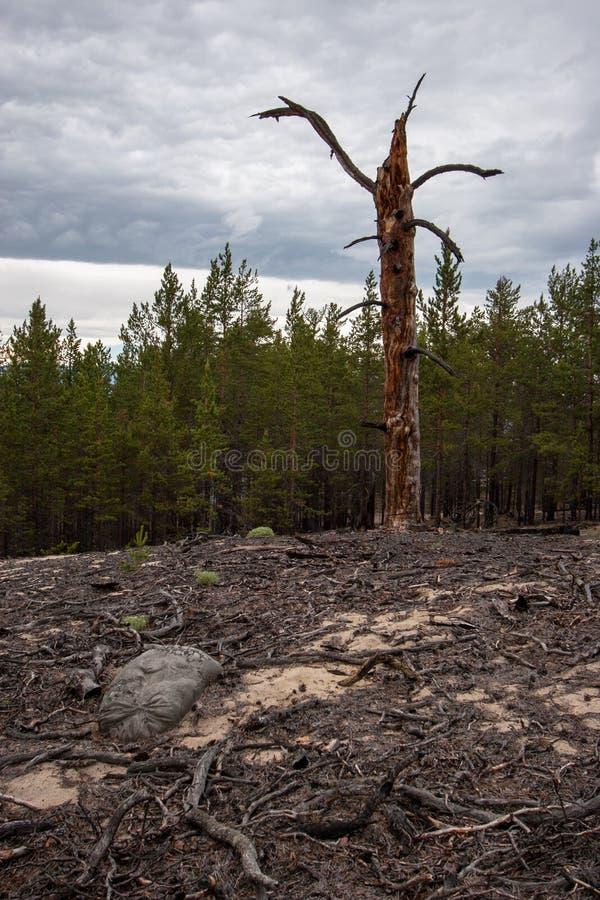 Árbol seco viejo contra la perspectiva del bosque que miente alrededor de muchas raíces y ramas alrededor imagen de archivo libre de regalías