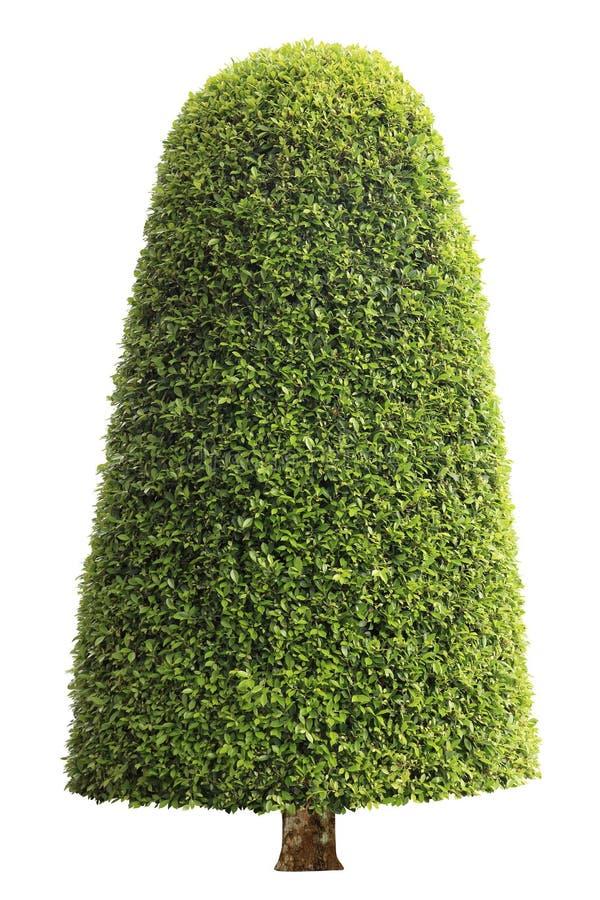 Árbol simétrico del topiary del ajuste de la forma de cono aislado en el fondo blanco para el jardín formal y artístico inglés de fotografía de archivo