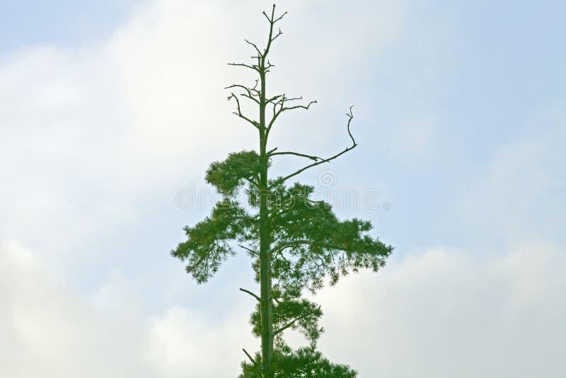 Árbol socarrado foto de archivo libre de regalías